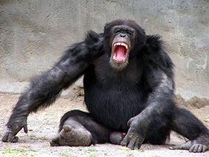 Rozzuřený šimpanz - ilustrační foto