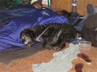 Polobdělý dozorčí pes